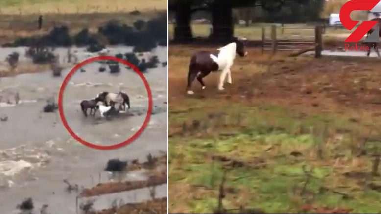 تلاش اسب مادر برای نجات بچه اش از سیلاب
