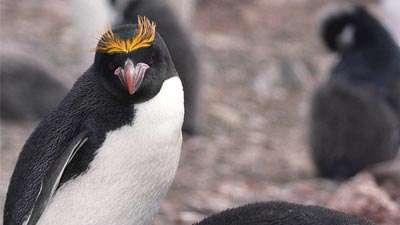 پنگوئن ماکارونی
