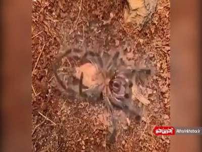 پوست اندازی یک عنکبوت