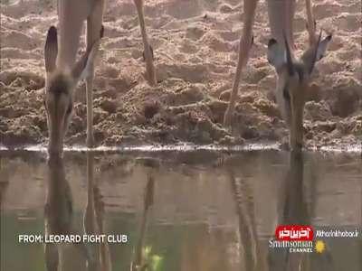 ترس عجیب پلنگ از فیل!