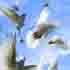 تصاویر لایه باز کبوتر ها Pigeons Multi Layered