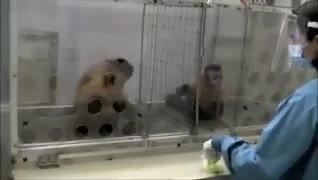 به میمون سمت راستی انگور داده میشه و به میمون سمت چپی خیار🥒🍇  واکنش میمونی که خیار میگیره عالیه