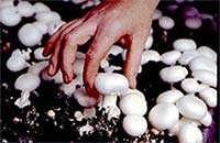 قارچ ، تقویت كننده ی استخوان ها