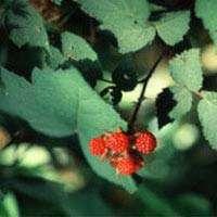 گیاهان دارویی مفید در سرماخوردگی