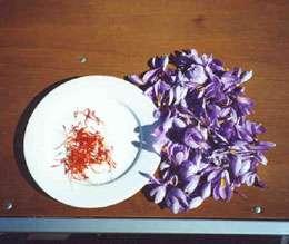 مصرف گیاه زعفران در پیشگیری از بروز افسردگی موثر است