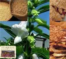 کنجد ؛ دانه ای مفید برای تقویت بدن