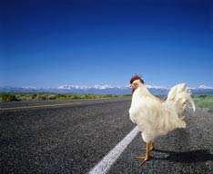 جریمه نقدی برای مرغ سر به هوا