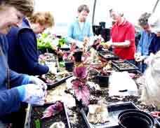 تکثیر گیاه بگونیا از طریق خواباندن برگ های آن