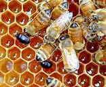 وحي الله إلى النحل آية قرآنية وحقيقة علمية