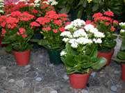 کالانکوئه – (مراقبت از گیاهان آپارتمانی)