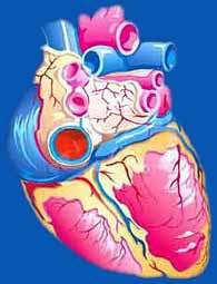 قلب و گردش خون