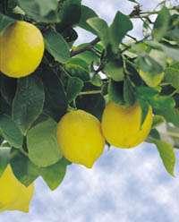 لیمو،آبلیمو