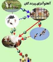 آنفلوآنزایپرندگان چه کسانی را تهدید می کند؟