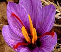 زعفران قاینات(2)