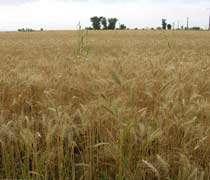 تولید گندم پرمحصول در اصفهان