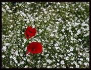 گل عروس، گل شقایق، گل