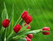 گل لاله ، باران ، طبیعت