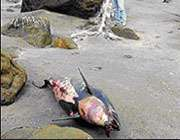 رد پای کشتیهای آمریکایی در تراژدی مرگ دلفینهای خلیج فارس