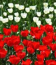 لاله سفيد و قرمز