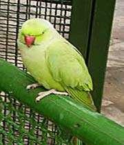 зелёный папугай