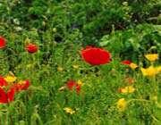 منظره ، گل زرد، گل قرمز ، گل شقایق