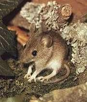 موش دوپای ایرانی کشف شد