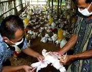 مورد جدید آنفلوآنزای پرندگان در ترکیه