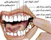 انواع دندان های دائمی