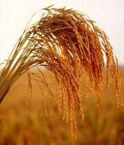 Rice feild