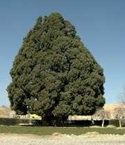 بزرگترین درخت كره زمین در ايران