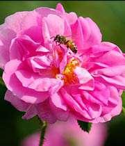 فارس سرشار از بوی گل محمدی