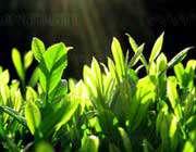 گیاه سبز چای