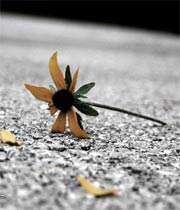 گل پرپر