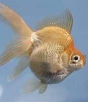 ماهي قرمز