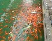 پرورش ماهي قرمز