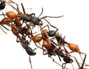 جسر النمل