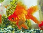 غذا و خانه ماهی قرمز نوروز