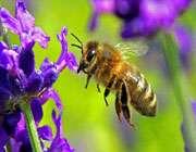 درمان MS با زهر زنبور عسل