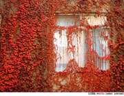 چرا برگ درختان در پاییز قرمز میشود؟