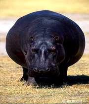 جانوران بزرگ با بدنی بشکه ای