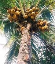 درخت نارگيل