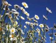 فندقلو،بهشتی پر از گلهای بابونه