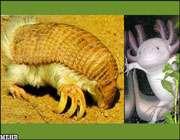 سمت راست :آکسولوتل - سمت چپ: گورکن کلامیدفور ساکن آمریکای جنوبی