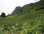 لاهیجان شهر چای و ابریشم