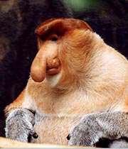 میمون پوزه دراز