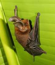 خفاشی با پاهای مکنده