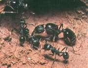 مورچه ها