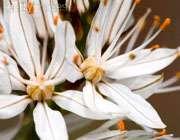 پودر ریشه اسراس (قوی ترین لایه بردار)