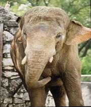 چگونه می توان یک فیل را تمام و کمال خورد؟/عکس