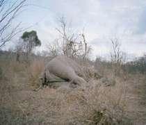 چگونه می توان یک فیل را تمام و کمال خورد؟